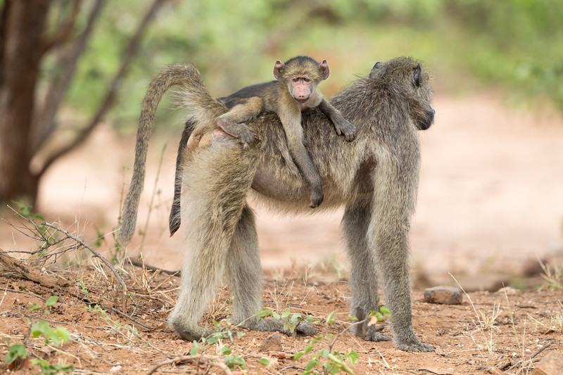 An olive baboon (Papio anubis) baby looks at the photographer as he rides atop his mother. Taken in Kruger National Park, South Africa.