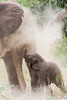 An African elephant (Loxodonta africana) mother dust-bathes as her newborn calf gets showered as well. Taken in Kruger National Park, South Africa.