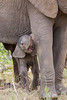 A newborn African elephant (Loxodonta africana) calf peers out from beneath his mother. Taken in Kruger National Park, South Africa.