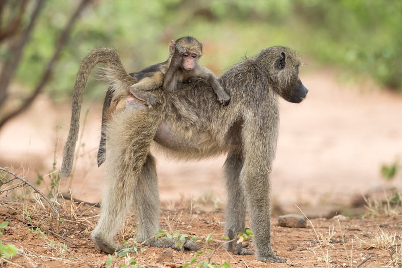 """This olive baboon (Papio anubis) baby seems to be saying, """"It's been a rough day."""" He rides atop his mother for much of the time at his age. Taken in Kruger National Park, South Africa."""
