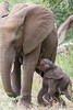 A newborn African elephant (Loxodonta africana) calf attempts to nurse Taken in Kruger National Park, South Africa.