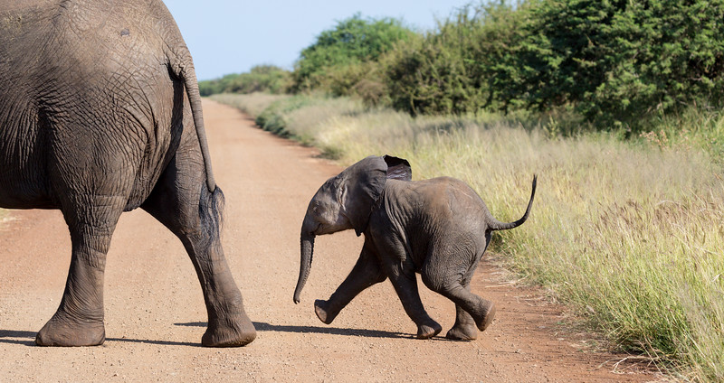 An African elephant (Loxodonta africana) baby follows its mother as they cross the road. Taken in Kruger National Park, South Africa, Africa.