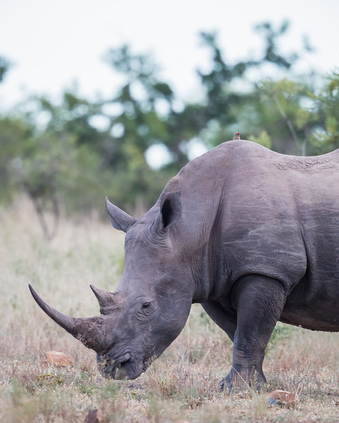 A young white rhinoceros (Ceratotherium simum simum) with a red-billed oxpecker (Buphagus erythrorhynchus). Taken in an undisclosed location in South Africa, Africa.