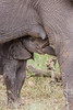 A newborn African elephant (Loxodonta africana) calf, getting close to nursing, perhaps for the first time. His mother reaches underneath his mouth as if to reassure him and guide him. Taken in Kruger National Park, South Africa.