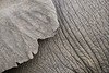 The ear and skin of an African elephant (Loxodonta africana). Taken in Kruger National Park, South Africa, Africa. The species is listed as vulnerable on the IUCN Red List of Threatened Species at iucnredlist.org.