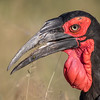 An adult Southern ground hornbill (Bucorvus leadbeateri). Taken in Kruger National Park, South Africa, Africa.
