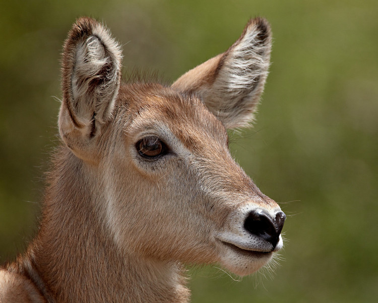 """""""Waterbuck Babe""""<br /> <br /> A young common waterbuck (Kobus ellipsiprymnus ellipsiprymnus). The species is also known as the Ellipsen waterbuck. Taken in Kruger National Park, South Africa, Africa."""