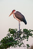 A marabou stork (Leptoptilos crumeniferus) perched high in a tree. Taken in Kruger National Park, South Africa, Africa.