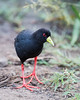 A black crake (Amaurornis flavirostris). Taken in Kruger National Park, South Africa, Africa.