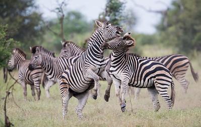 """Zebras At the Coliseum"""