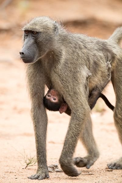 The younger olive baboon (Papio anubis) babies ride under their mothers and can even nurse while en route. Taken in Kruger National Park, South Africa.