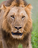 A male African lion (Panthera leo). Taken in Kruger National Park, South Africa, Africa. The species is listed as vulnerable on the IUCN Red List of Threatened Species at iucnredlist.org.