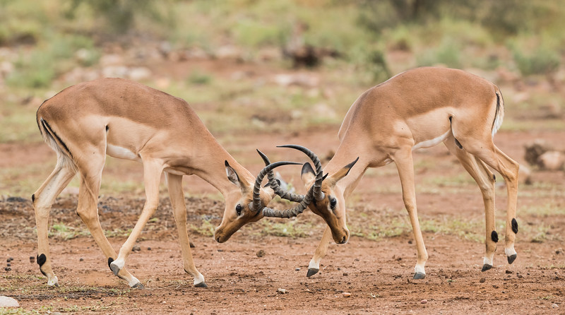 Two male impala (Aepyceros melampus) sparring. Taken in Kruger National Park, South Africa, Africa.
