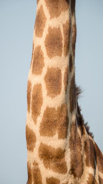 The neck of a female South African giraffe (Giraffa (camelopardalis) giraffa). Taken in Kruger National Park, South Africa, Africa.