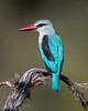 A woodland kingfisher (Halcyon senegalensis). Taken in Kruger National Park, South Africa, Africa.