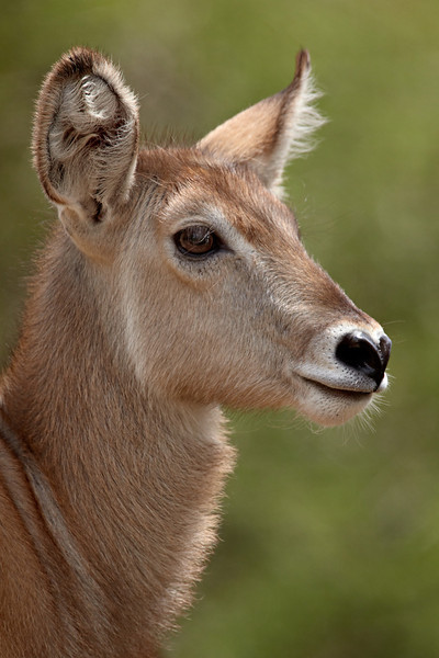 """""""Young Waterbuck"""" <br /> <br /> A young common waterbuck (Kobus ellipsiprymnus ellipsiprymnus). The species is also known as the Ellipsen waterbuck. Taken in Kruger National Park, South Africa, Africa."""