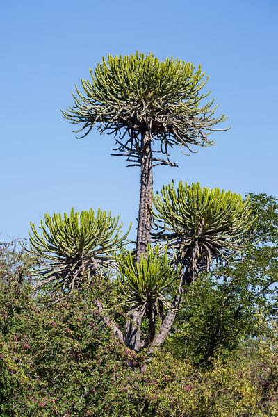 A Euphorbia candelabrum tree (Euphorbia candelabrum). Taken in Kruger National Park, South Africa, Africa.