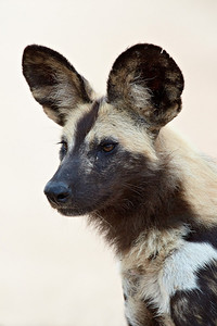"""Alert African Wild Dog""  An African wild dog (Lycaon pictus) in Kruger National Park, South Africa, Africa. The species is listed as endangered on the IUCN Red List of Threatened Species at iucnredlist.org."
