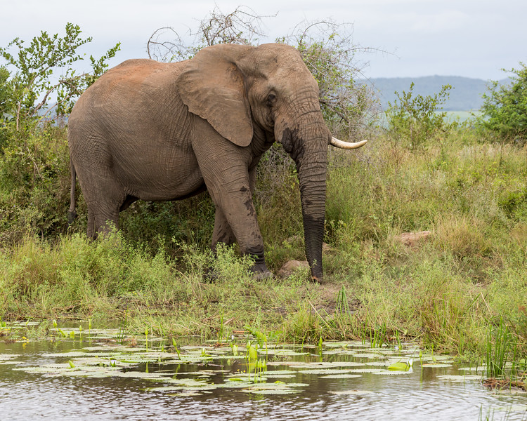 An adult African elephant (Loxodonta africana) with a missing tusk. Taken in Kruger National Park, South Africa, Africa.