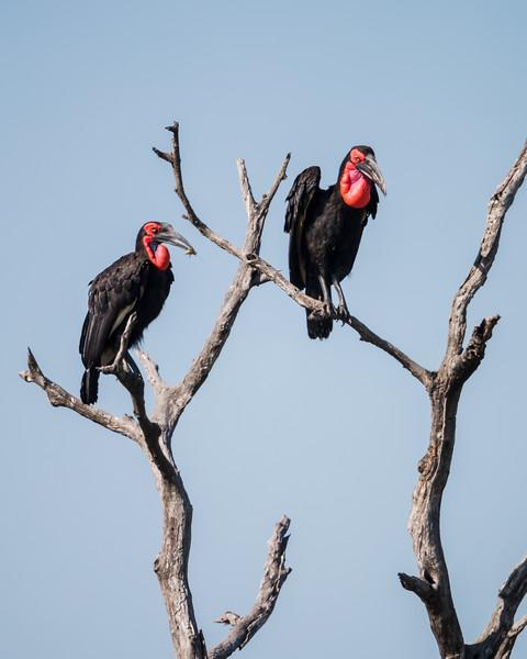 Southern ground hornbills (Bucorvus leadbeateri). Taken in Kruger National Park, South Africa, Africa.