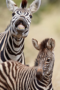 """Me, Too! I Want To Be In the Picture, Too!""  I thought this was so comical. It's a Chapman's zebra or plains zebra (Equus burchelli antiquorum), exhibiting the flehmen behavior, or lip-curl, behind a young zebra. Taken in Kruger National Park, South Africa, Africa."