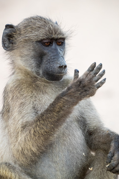 An adolescent chacma baboon (Papio cynocephalus anubis) studies its hand after eating. Taken in Kruger National Park, South Africa, Africa.