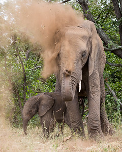 """Dust-Bathing With Her Newborn"""