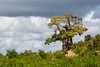 A huge baobab (Adansonia digitata) tree, in fall foliage. Taken in Kruger National Park, South Africa, Africa.