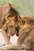 Two male African lions (Panthera leo) rub their heads together in an interaction. Taken in Kruger National Park, South Africa, Africa. The species is listed as vulnerable on the IUCN Red List of Threatened Species at iucnredlist.org.