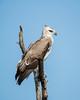 A juvenile martial eagle (Polemaetus bellicosus). Taken in Kruger National Park, South Africa, Africa.