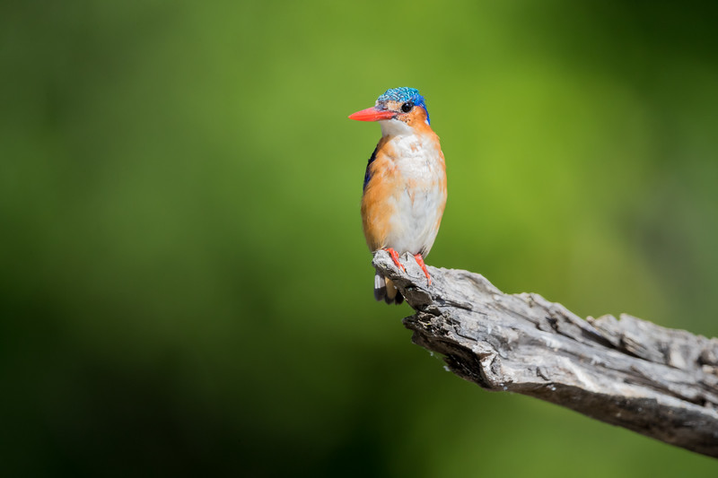 A malachite kingfisher (Alcedo cristata). Taken in Kruger National Park, South Africa, Africa.