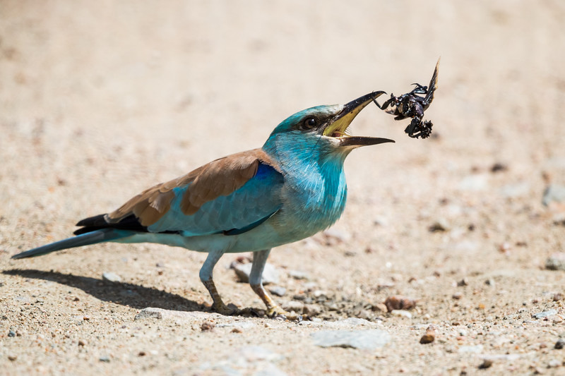 A European roller (Coracias garrulus) tosses a beatle in the air as it dismembers it for easier eating. Taken in Kruger National Park, South Africa, Africa.