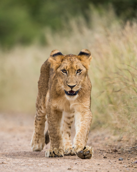 An African lion (Panthera leo) cub steps out on its own. Taken in Kruger National Park, South Africa, Africa.