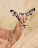 Portrait of a young impala (Aepyceros melampus). Taken in Kruger National Park, South Africa, Africa.