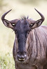A blue wildebeest (Connochaetes taurinus) or brindled gnu. Taken in Kruger National Park, South Africa, Africa.