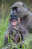 A baby chacma baboon (Papio cynocephalus anubis) eats as its mother looks on. Taken in Kruger National Park, South Africa, Africa.
