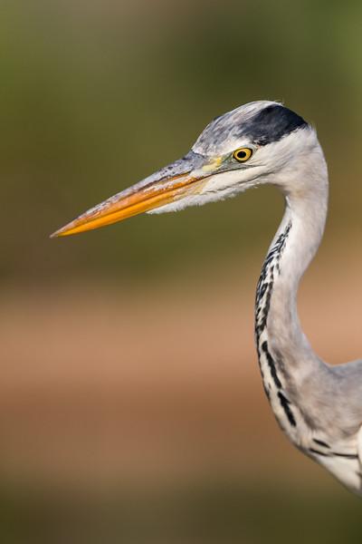 A grey heron (Ardea cinerea). Taken in Kruger National Park, South Africa, Africa.