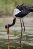 A female saddle-billed stork (Ephippiorhynchus senegalensis) looks for prey in a river. Taken in Kruger National Park, South Africa.