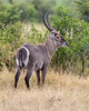 A male common waterbuck (Kobus ellipsiprymnus). Taken in Kruger National Park, South Africa, Africa.