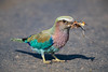 A lilac-breasted roller (Coracias caudata) with its prey. Taken in Kruger National Park, South Africa, Africa.