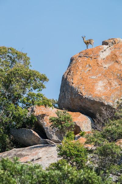 A klipspringer (Oreotragus oreotragus). Taken in Kruger National Park, South Africa, Africa.