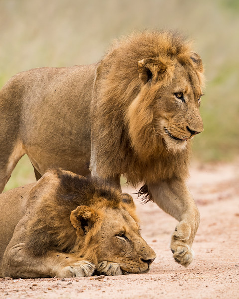 Two male African lions (Panthera leo). Taken in Kruger National Park, South Africa, Africa. The species is listed as vulnerable on the IUCN Red List of Threatened Species at iucnredlist.org.