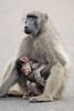 A chacma baboon (Papio ursinus) mother holds her baby. The baby had deformities and wasn't able to stand on its own due to a lack of muscle tone. Taken in Kruger National Park, South Africa, Africa.