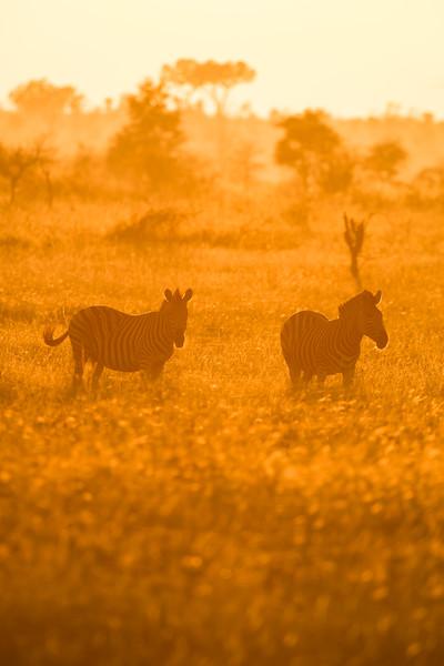 Chapman's zebra or plains zebra (Equus burchelli antiquorum). Taken in Kruger National Park, South Africa, Africa.