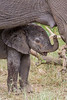 A newborn African elephant (Loxodonta africana) calf underneath his mother, near her mammary gland. Taken in Kruger National Park, South Africa.