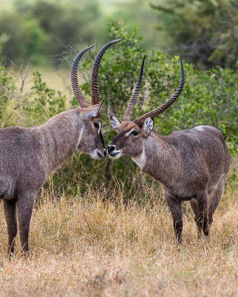 Two male common waterbuck (Kobus ellipsiprymnus) were rubbing heads in a display of dominance. Taken in Kruger National Park, South Africa, Africa.
