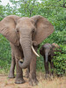 An African elephant (Loxodonta africana) mother and calf. Taken in Kruger National Park, South Africa, Africa. The species is listed as vulnerable on the IUCN Red List of Threatened Species at iucnredlist.org.