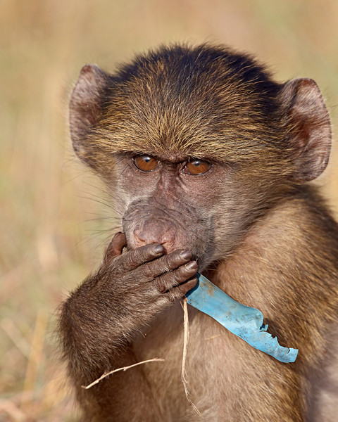 """""""When Will We Learn?""""<br /> <br /> A young chacma baboon (Papio ursinus) ingesting a piece of blue plastic. Taken in Kruger National Park, South Africa, Africa."""