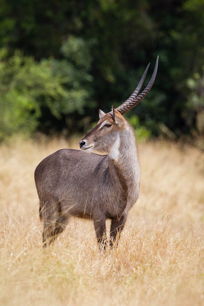 A common waterbuck (Kobus ellipsiprymnus ellipsiprymnus). The species is also known as the Ellipsen waterbuck. Taken in Kruger National Park, South Africa, Africa.