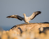 Cape gannet (Morus capensis). Taken at the Lambert's Bay colony, South Africa, Africa.